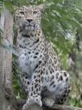 Stående av den persiska leoparden, Pantherapardussaxicolor arkivfoto