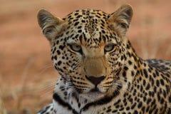 Stående av den placerade afrikanska leoparden i Namibia Arkivbild