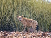 Stående av den prickiga hyenan som framme står av den gröna ökenbusken som ser in i avstånd, Palmwag, Namibia, Afrika arkivbild