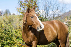 Stående av den röda hästen i höstberget Fotografering för Bildbyråer