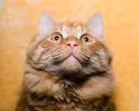 Stående av den röda katten, closeup Fotografering för Bildbyråer