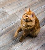 Stående av den röda katten som spelar med leksaken Royaltyfri Foto