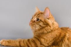 Stående av den röda katten som spelar med leksaken royaltyfri fotografi