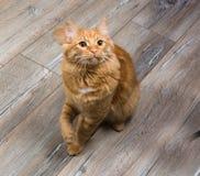 Stående av den röda katten som spelar med leksaken Royaltyfri Bild