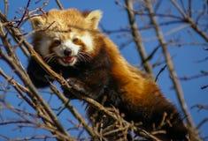 Stående av den röda pandan som kallas också Lesser Panda Fotografering för Bildbyråer