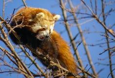 Stående av den röda pandan som kallas också Lesser Panda Arkivbild