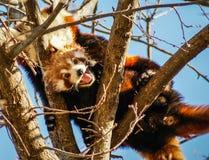 Stående av den röda pandan som kallas också Lesser Panda Royaltyfria Bilder