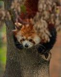 Stående av den röda pandan som kallas också Lesser Panda Royaltyfri Bild