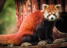 Stående av den röda pandan som kallas också Lesser Panda Royaltyfri Fotografi