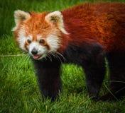 Stående av den röda pandan som kallas också Lesser Panda Arkivfoton