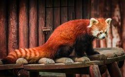 Stående av den röda pandan som kallas också Lesser Panda Royaltyfri Foto