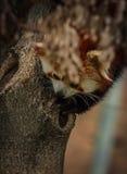 Stående av den röda pandan som kallas också Lesser Panda Arkivfoto