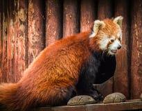 Stående av den röda pandan som kallas också Lesser Panda Arkivbilder