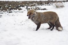 Röd räv i snowen Royaltyfria Foton