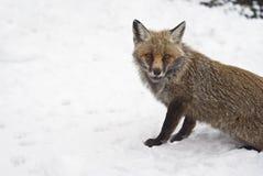 Röd räv i snowen Arkivbild
