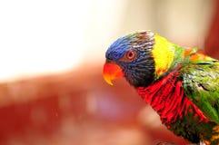 Stående av den regnbågeLorikeet fågeln i Florida Arkivfoto