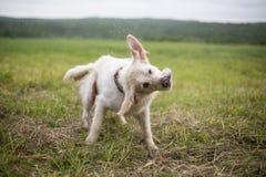 Stående av den roliga och lyckliga golden retrieverhunden som skakar dess huvud i fältet royaltyfri bild