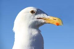 Stående av den roliga seagullen Arkivfoton
