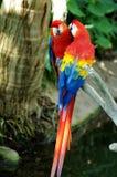 Stående av den scharlakansröda arapapegojan för färgrika par mot djungelbakgrund arkivbild