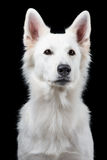 Stående av den schweiziska vita herden Fotografering för Bildbyråer