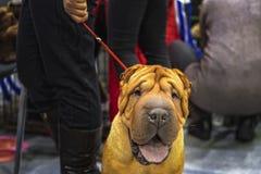 Stående av den Shar Pei hunden på den röda koppeln Bekläda beskådar Stående för valp för kinesShar pei royaltyfri fotografi