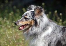 Stående av den Sheltie hunden Arkivfoto
