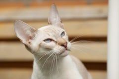 Stående av den Siamese katten Fotografering för Bildbyråer