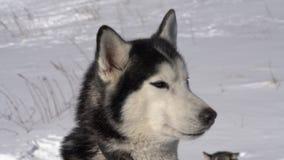 Stående av den skrovliga hunden för vintersportkonkurrens stock video