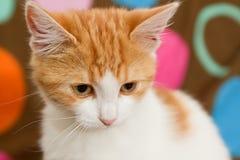 Stående av den små katten royaltyfri foto