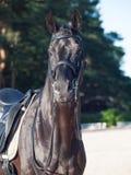 Stående av den sportive dressyrsvarthingsten royaltyfria bilder