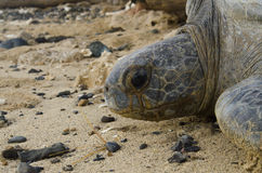 Stående av den Stillahavs- gröna havssköldpaddan i öde strand Arkivfoton