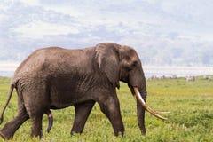 Stående av den stora elefanten med ett mycket stort bete Ngorongoro Tanzania Royaltyfri Bild