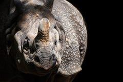 Stående av den stora en-horned noshörningen med svart bakgrund royaltyfria foton