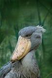 Stående av den stora näbbfågeln Shoebill, Balaenicepsrex, Uganda Arkivbild