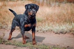 Stående av den stora rottweilerhunden Royaltyfri Fotografi