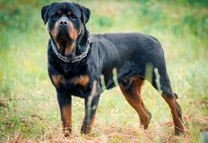 Stående av den stora rottweilerhunden Arkivfoton