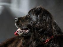 Stående av den stora svarta vatten-hunden, studioskytte Royaltyfri Bild