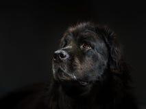 Stående av den stora svarta vatten-hunden, studioskytte Royaltyfri Foto