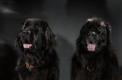 Stående av den stora svarta vatten-hunden, studioskytte Arkivbilder