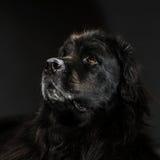 Stående av den stora svarta vatten-hunden, studioskytte Arkivbild