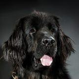 Stående av den stora svarta vatten-hunden, studioskytte Royaltyfria Foton