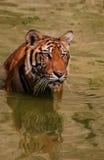 Stående av den stora tigern, Thailand, Tiger Temple Royaltyfri Bild