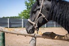 Stående av den svarta asiatiska hästen royaltyfria bilder