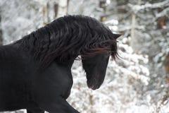 Stående av den svarta Friesianhästen på vinterbakgrund royaltyfri bild