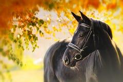 Stående av den svarta hästen i höst Fotografering för Bildbyråer