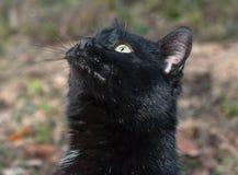 Stående av den svarta katten Fotografering för Bildbyråer