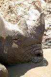 Stående av den svarta noshörningen Royaltyfri Fotografi