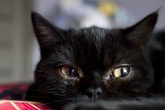 Stående av den svarta skotska kattungen i mörkt rum arkivfoto
