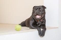 Stående av den svarta Staffordshire Bull terrier hunden som ner ligger Fotografering för Bildbyråer