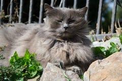 Stående av den tjocka lång-hår grå färgChantilly Tiffany katten som kopplar av i trädgården Stäng sig upp av fet kvinnlig katt me Arkivfoto